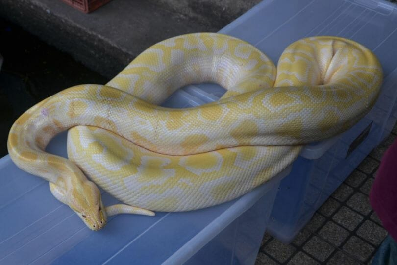 White and yellow snake - one of the most venomous snakes in North America