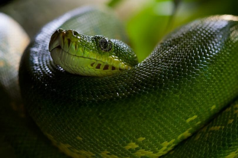Coiled green snake - Example of why one needs snake boots