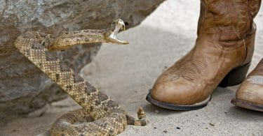 Snake about to strike. Buying snake proof boots can prevent serious injury.