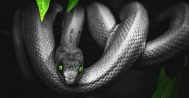 Smoke grey snake with vivid green eyes in a tree in the jungle.