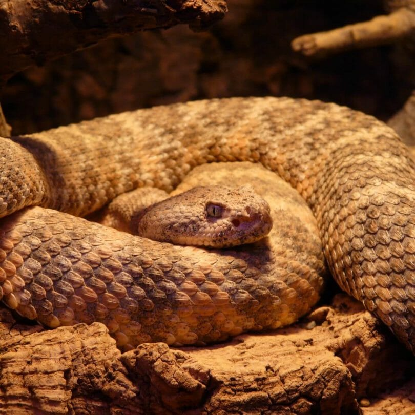 Spotted rattlesnake curled up with head resting on its body.